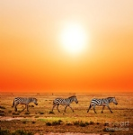 2-zebras-herd-on-african-savanna-at-sunset-michal-bednarek